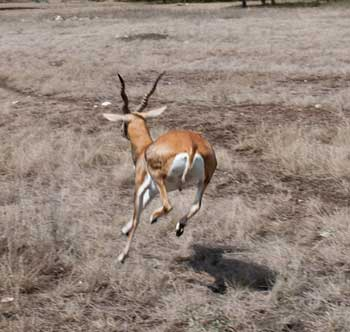 Our new breeder blackbuck antelope
