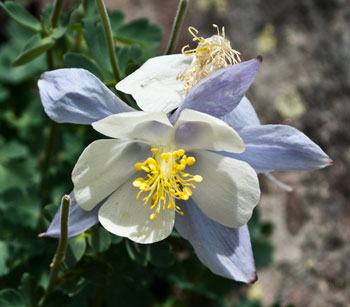 The Columbine - state flower of Colorado