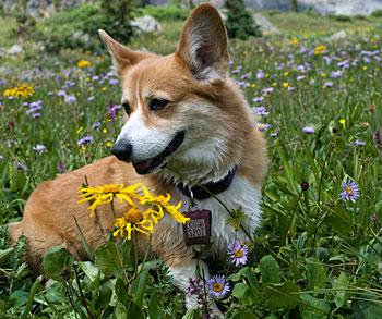 Sassy at 12,000 feet in the San Juan Mountains