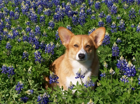 Sassy in bluebonnet flowers