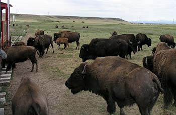 Bison at the Terry Bison Ranch, Cheyenne, Wyoming