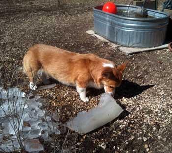Sassy the Corgi eating ice from the stock tanks
